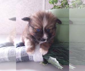 Pomsky Puppy for sale in KOKOMO, IN, USA