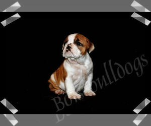 Bulldog Puppy for Sale in BOISE, Idaho USA