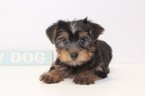 Yorkshire Terrier Puppy For Sale in NAPLES, FL,