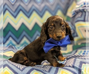 Dachshund Dog for Adoption in NEW HOLLAND, Pennsylvania USA