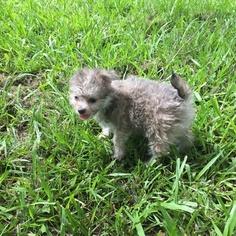 Malchi Puppy For Sale in HOUSTON, TX