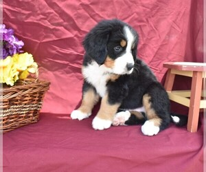 Bernese Mountain Dog Puppy for sale in MILLERSBURG, OH, USA