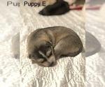 Small Photo #17 Wolf Hybrid Puppy For Sale in FILLMORE, LA, USA