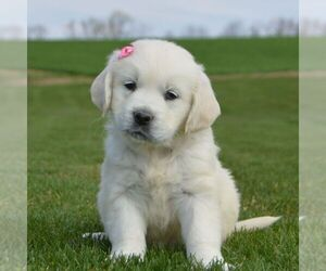 English Cream Golden Retriever Puppy for sale in BERNVILLE, PA, USA