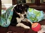 Border Collie-Karelian Bear Dog Mix Dog For Adoption in NASHVILLE, TN, USA