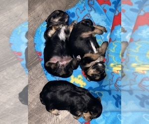 Yorkshire Terrier Puppy for sale in P C BEACH, FL, USA