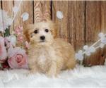 Puppy 10 Maltipoo