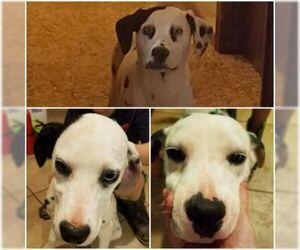 Dalmatian Puppy for sale in LAWTON, OK, USA