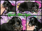 Miniature Australian Shepherd Puppy For Sale in HOISINGTON, KS, USA