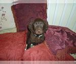 Labradoodle Puppy For Sale in SAINT DAVID, AZ, USA
