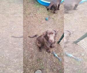 Labrador Retriever Puppy for Sale in EAU CLAIRE, Wisconsin USA