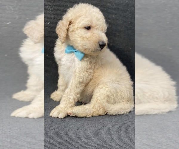 Medium Photo #4 Goldendoodle-Poodle (Standard) Mix Puppy For Sale in HANFORD, CA, USA