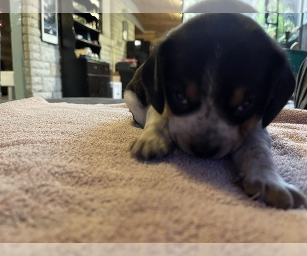 Medium Photo #9 Beagle Puppy For Sale in LAFAYETTE, IN, USA