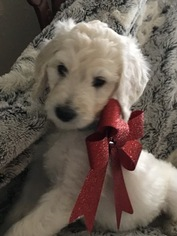 Sweet F1b Goldendoodle Boy Puppies