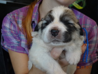 Great Pyrenees Puppy For Sale in MAYNARD, AR