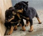 Small #48 Rottweiler
