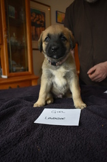 Anatolian Shepherd Puppy For Sale in COEUR D ALENE, ID, USA