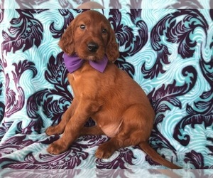 Irish Setter Dog for Adoption in NEW PROVIDENCE, Pennsylvania USA