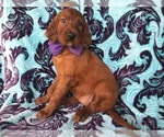 Irish Setter Puppy For Sale in NEW PROVIDENCE, PA, USA