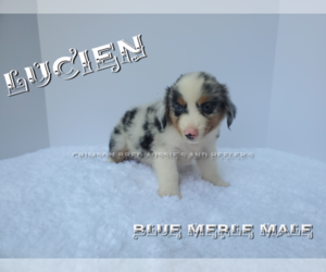 Miniature Australian Shepherd Puppy for Sale in DOTHAN, Alabama USA
