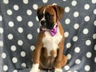 Boxer Puppy For Sale in EAST EARL, Pennsylvania,