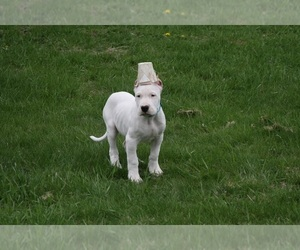 Dogo Argentino Puppy for sale in BRUCE, WI, USA