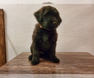 Goldendoodle-Soft Coated Wheaten Terrier Mix Puppy for Sale in CLEVELAND, Minnesota USA
