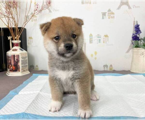 Full screen Photo #2 Shiba Inu Puppy For Sale in SAN FRANCISCO, CA, USA