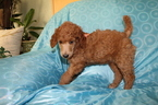 Poodle (Standard) Puppy For Sale in SHERIDAN, CA