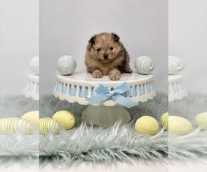 Pomeranian Puppy for sale in STKN, CA, USA
