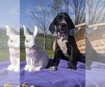 Puppy 0 Dalmadoodle