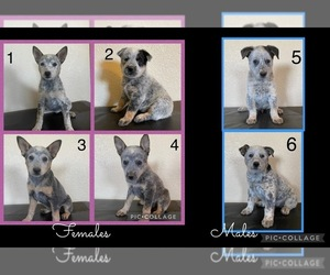 Australian Cattle Dog Puppy for Sale in TOPPENISH, Washington USA