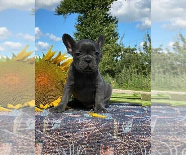 Medium Photo #7 French Bulldog Puppy For Sale in JERSEY CITY, NJ, USA