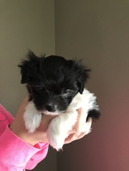 Coton de Tulear Puppy For Sale in CROTHERSVILLE, IN
