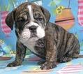 English Bulldogge Puppy For Sale in WALDORF, MD,