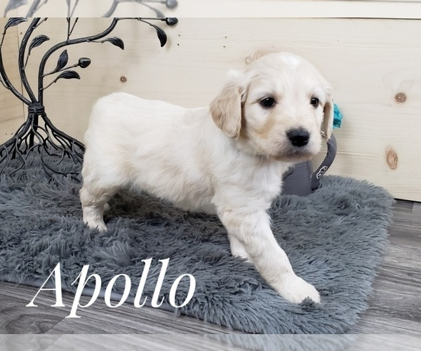 Full screen Photo #2 Goldendoodle Puppy For Sale in CEDAR GAP, MO, USA
