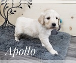 Small Photo #2 Goldendoodle Puppy For Sale in CEDAR GAP, MO, USA