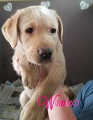 Sheprador Puppy For Sale in BOSCAWEN, NH, USA
