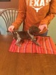 German Shorthaired Pointer Puppy For Sale in GOSHEN, IN