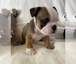 Small #7 English Bulldog