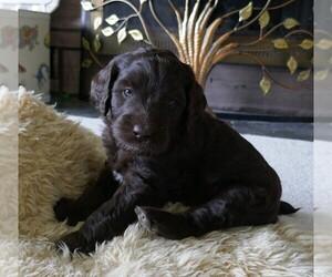 Labradoodle Puppy for sale in ANACONDA, MT, USA