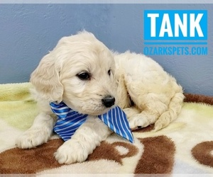 Goldendoodle Puppy for Sale in CEDAR GAP, Missouri USA