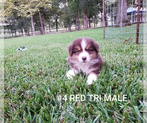 Australian Shepherd Puppy for sale in CLARKSVILLE, TX, USA
