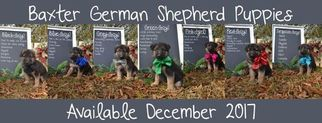 German Shepherd Dog Puppy For Sale in CORINTH, MS, USA