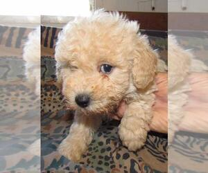 Poodle (Toy) Puppy for sale in BUFFALO, KY, USA