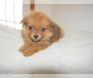 Pomeranian Puppy for sale in JACKSON, MI, USA