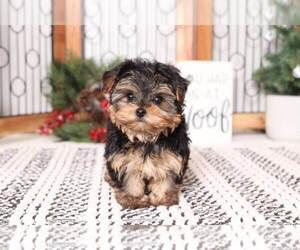 YorkiePoo Puppy for sale in NAPLES, FL, USA