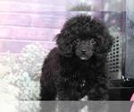 Rosie Female Poodle