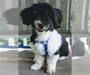 Havanese Puppy for Sale in WINSTON SALEM, North Carolina USA