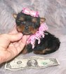 BABY DOLL FACE TEACUP FEMALE YORKIE